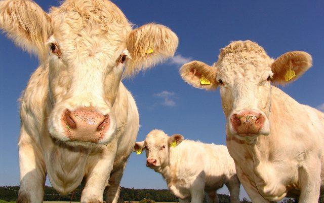 cows-1029077_1920